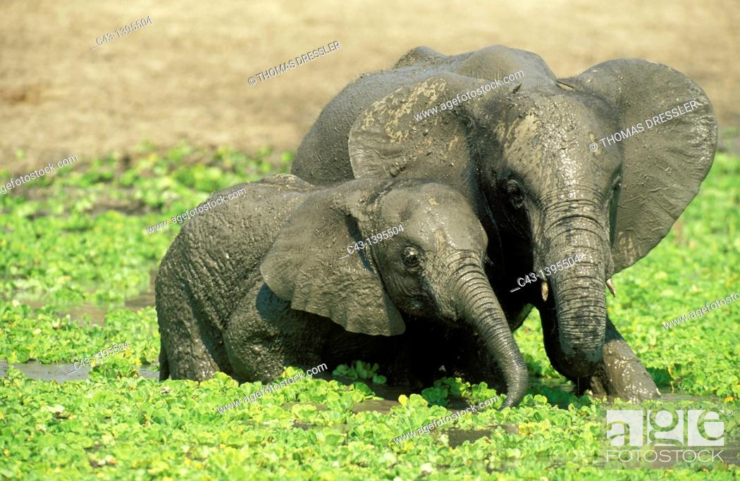 Stock Photo: African Elephant Loxodonta africana - Two different aged calves having fun at a waterhole which is covered with Water Lettuce Pistia stratiotes  South Luangwa.