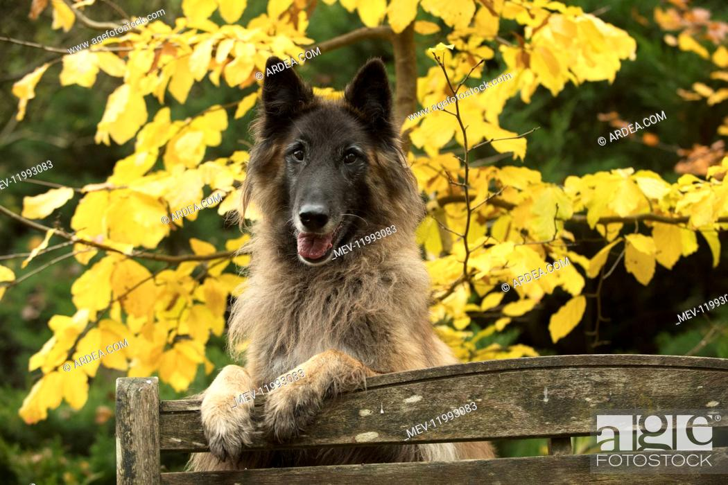 Stock Photo: DOG. Tervuren ( Belgium shepherd ) paws over bench, autumn.