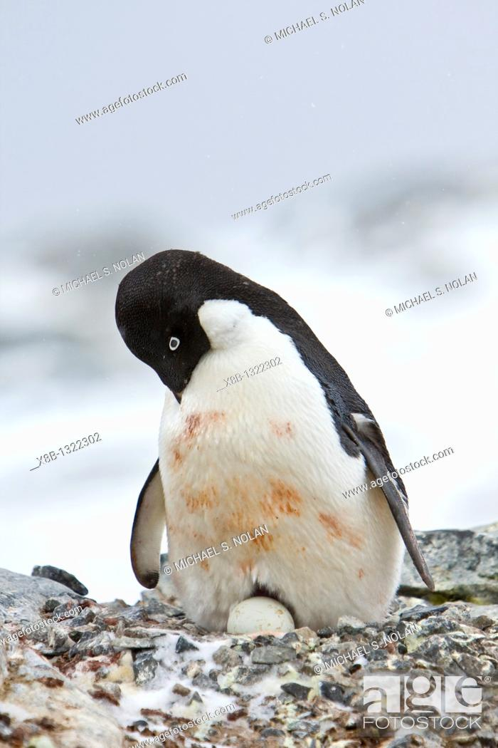 Imagen: Adult Adelie penguin Pygoscelis adeliae sitting on an egg on breeding colony on Petermann Island, Antarctica  There are an estimated 2 million breeding pairs of.