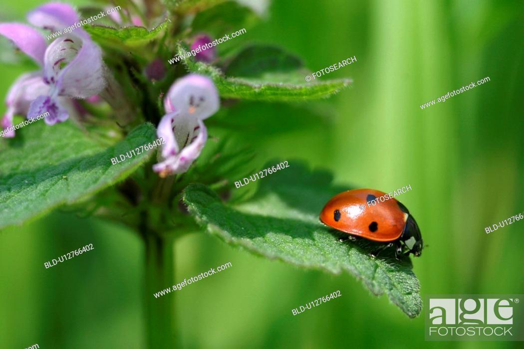 Stock Photo: Ladybug on a flower's leaf.