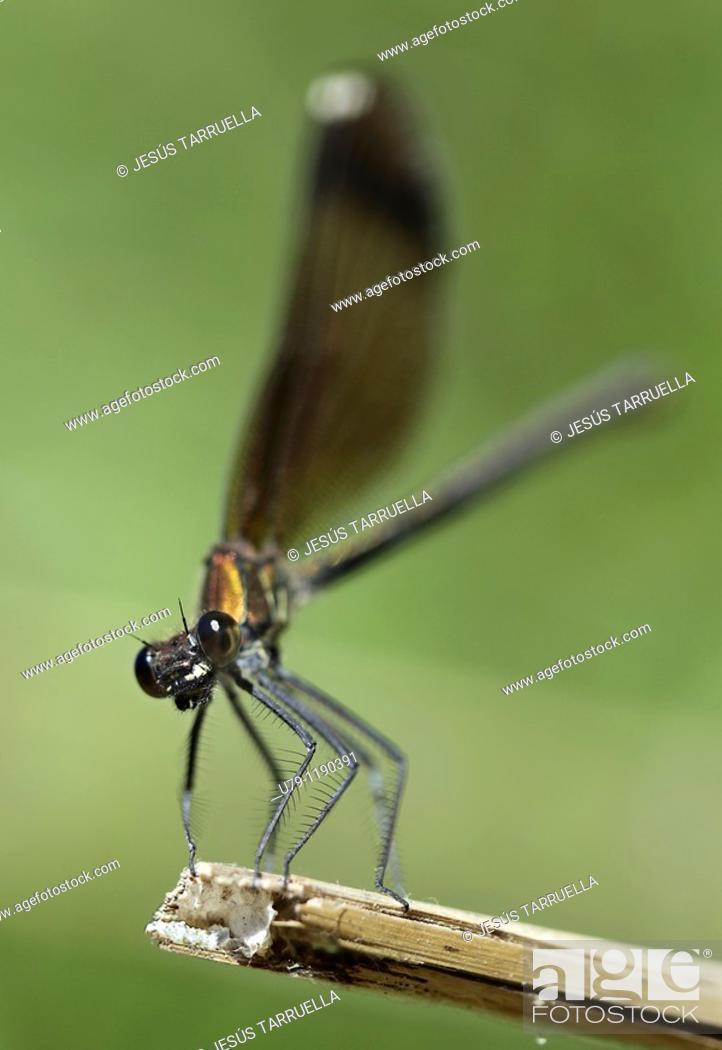 Stock Photo: Dragonfly  Hemimetabolous Odonata Zygoptera  Vinalopó  Bañeres de Mariola  Alicante  Valencia  Spain  Europe.