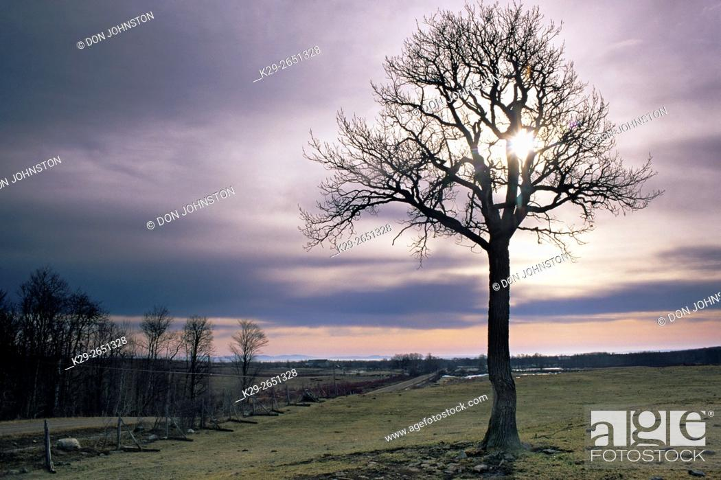 Stock Photo: Silhouetted bare oak trees in early spring pasture, near Sheguiandah, Manitoulin Island, Ontario, Canada.