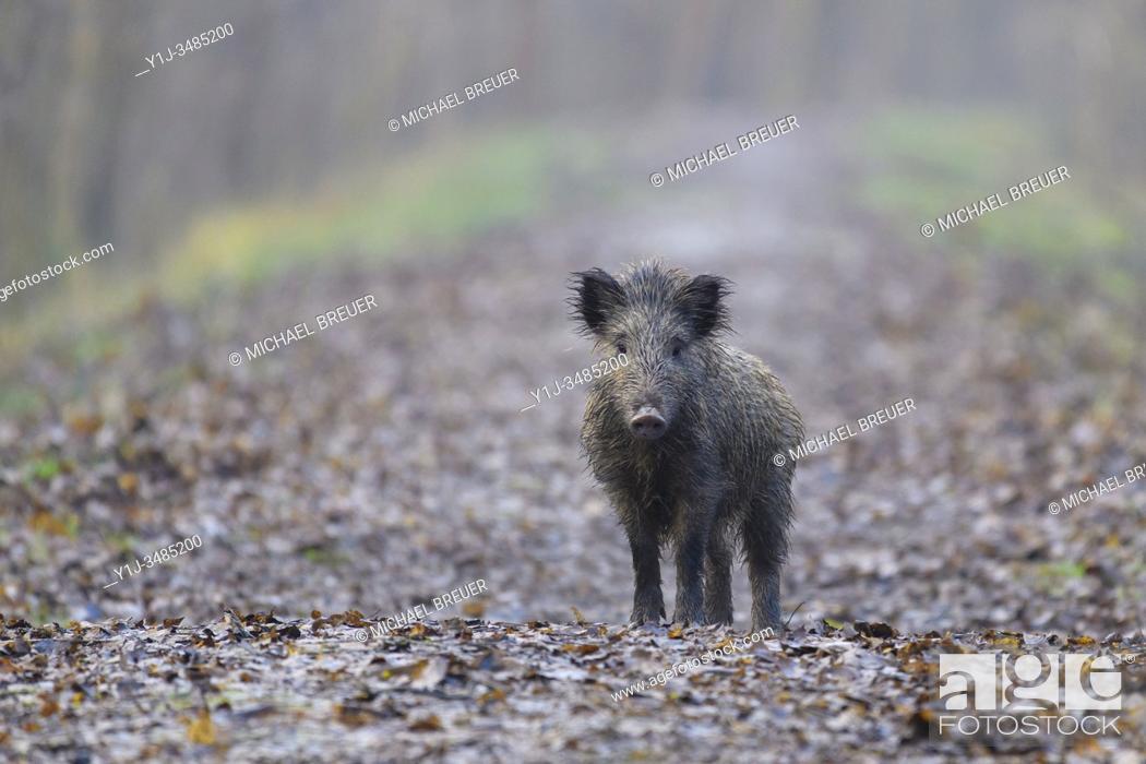 Stock Photo: Wild boar (Sus scrofa) in springtime, Hesse, Germany, Europe.