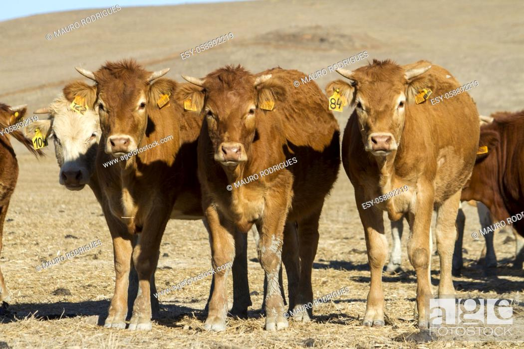 Photo de stock: Close view of a group of brown cows on a sunny arid landscape.