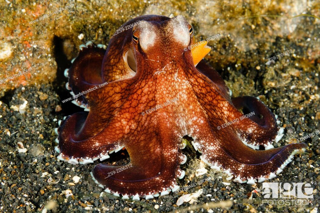 Stock Photo: Coconut octopus (Amphioctopus marginatus) Lembeh Strait, Indonesia.