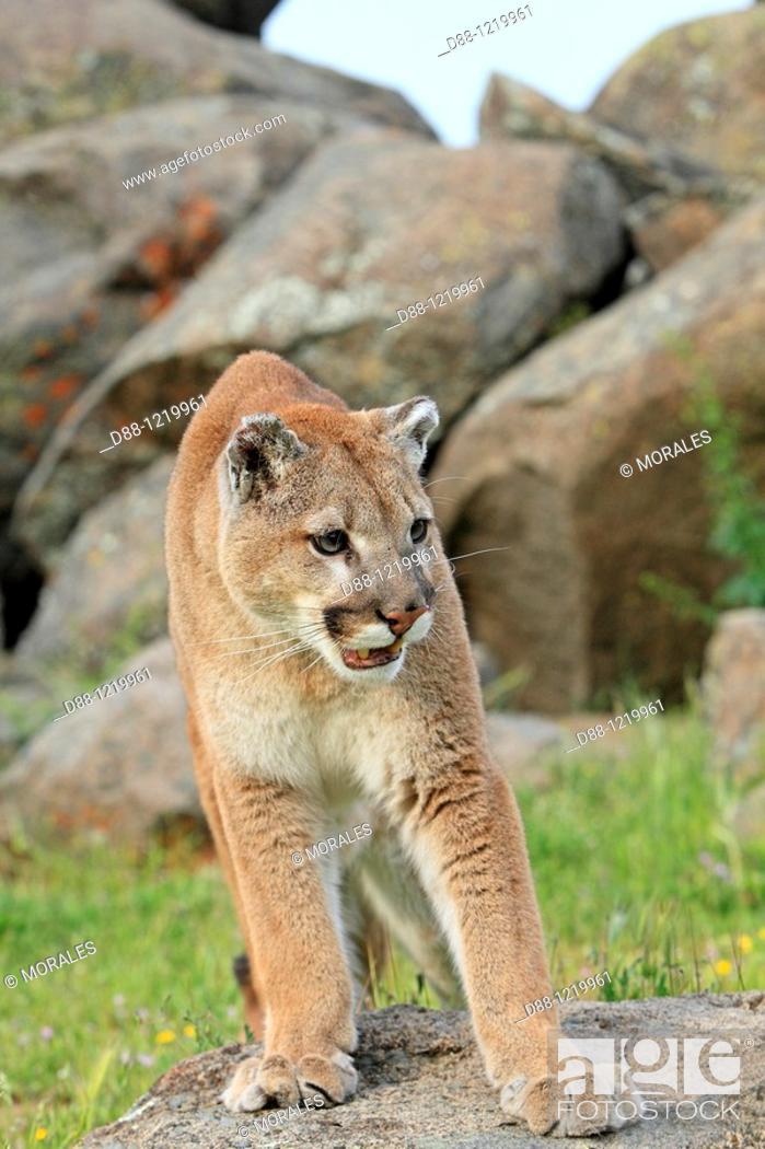 Stock Photo: Cougar or Mountain Lion Puma concolor Order: Carnivora Family: Felidae.