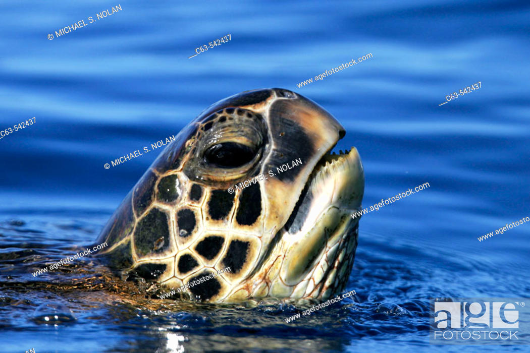 Stock Photo: Adult Green Sea Turtle (Chelonia mydas) surfacing (head detail) off the coast of Maui, Hawaii, USA. Paific Ocean.