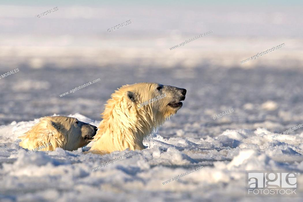 Stock Photo: United States , Alaska , Arctic National Wildlife Refuge , Kaktovik , Two Polar Bears ( Ursus maritimus ) , swim in slush ice along a barrier island outside.