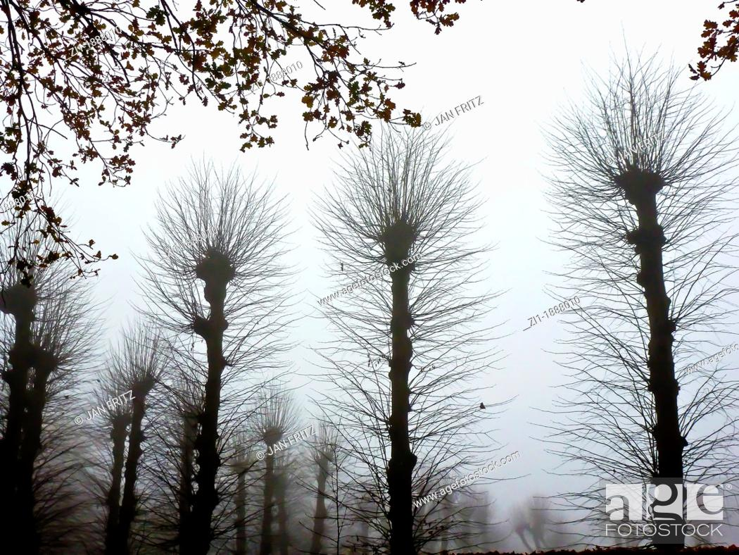 Photo de stock: silhouettes of willows in wintertime, the Netherlands.