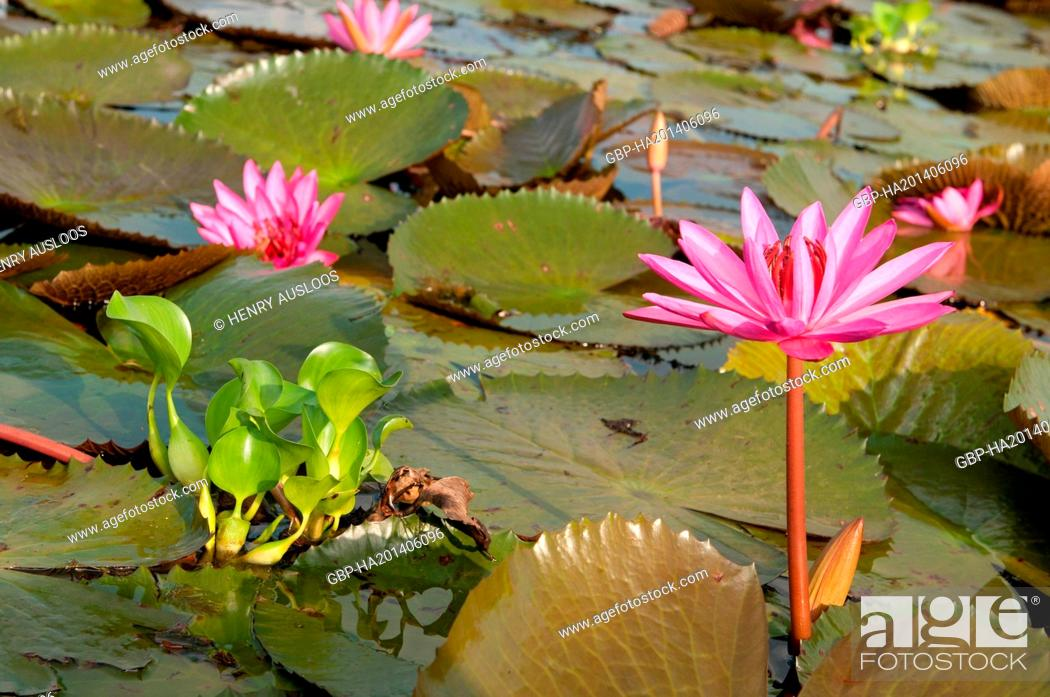 Stock Photo: Red Indian water lily - open flower (Nymphaea pubescens) - Tale Noi - Patthalung - Thailand.