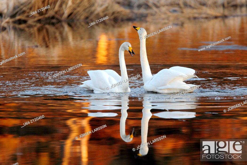Stock Photo: Whooper Swan (Cygnus cygnus), Skåne, Sweden.