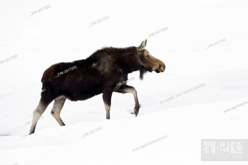 Stock Photo: Moose (Alces alces) walking in snow, Grand Teton national park, Wyoming, USA.