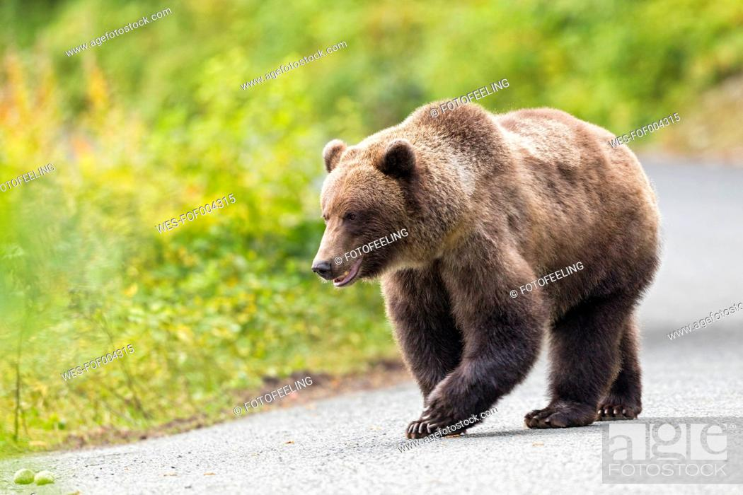 Stock Photo: USA, Alaska, Brown bear walking on road near Chikoot Lake.