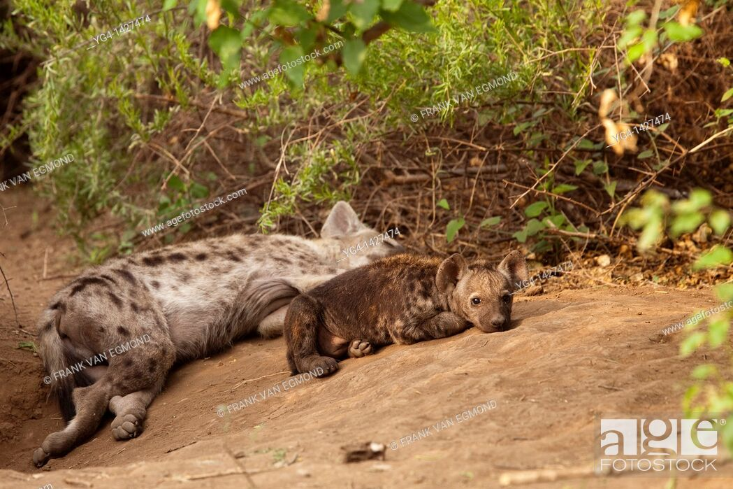 Stock Photo: Spotted Hyena Crocuta crocuta   Hyena adult and pup at their den  One adult is left behind at the den to look after the pups while the rest of the clan goes to.