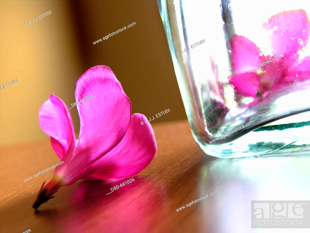 Stock Photo: Oleander flowers.
