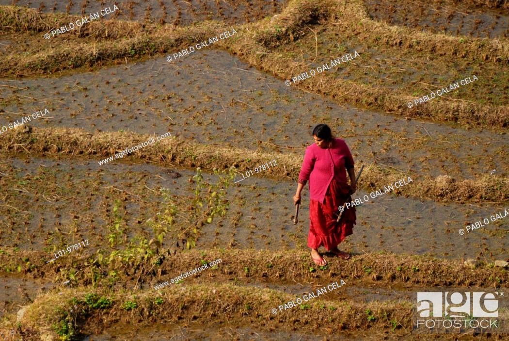 Stock Photo: Woman in rice field, Langtang, Nepal.