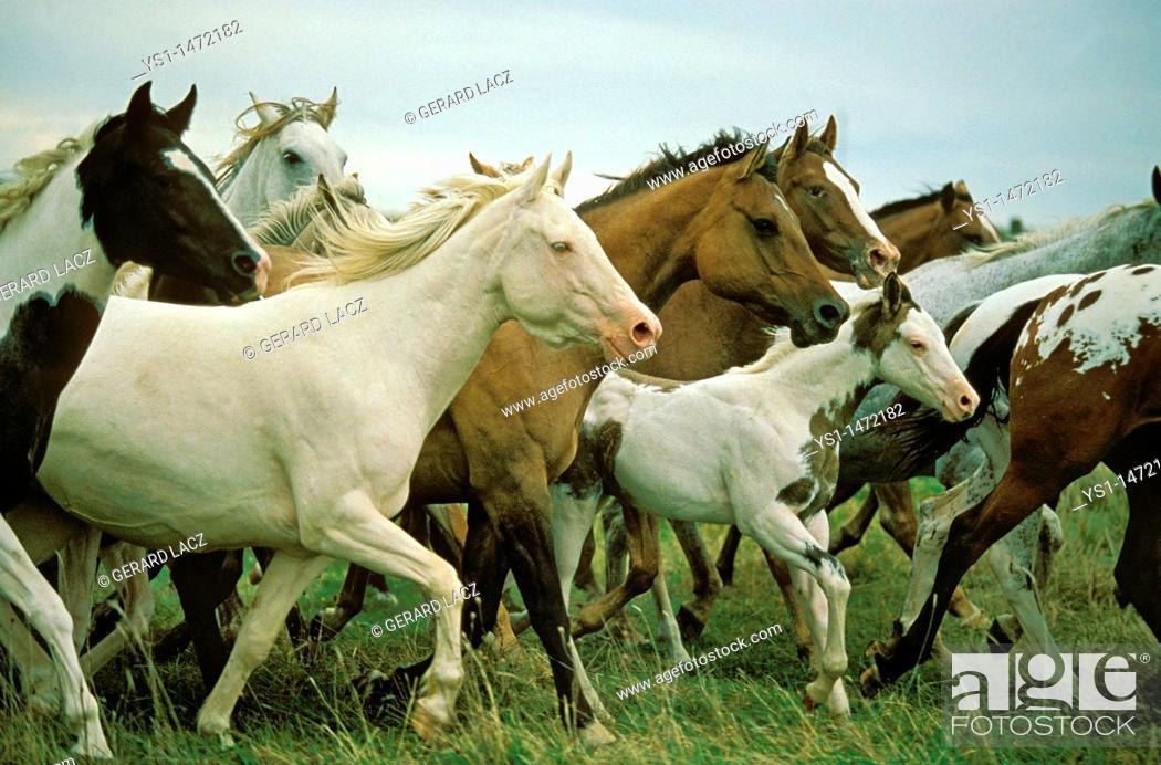 Stock Photo: American Saddlebred Horse, Herd.