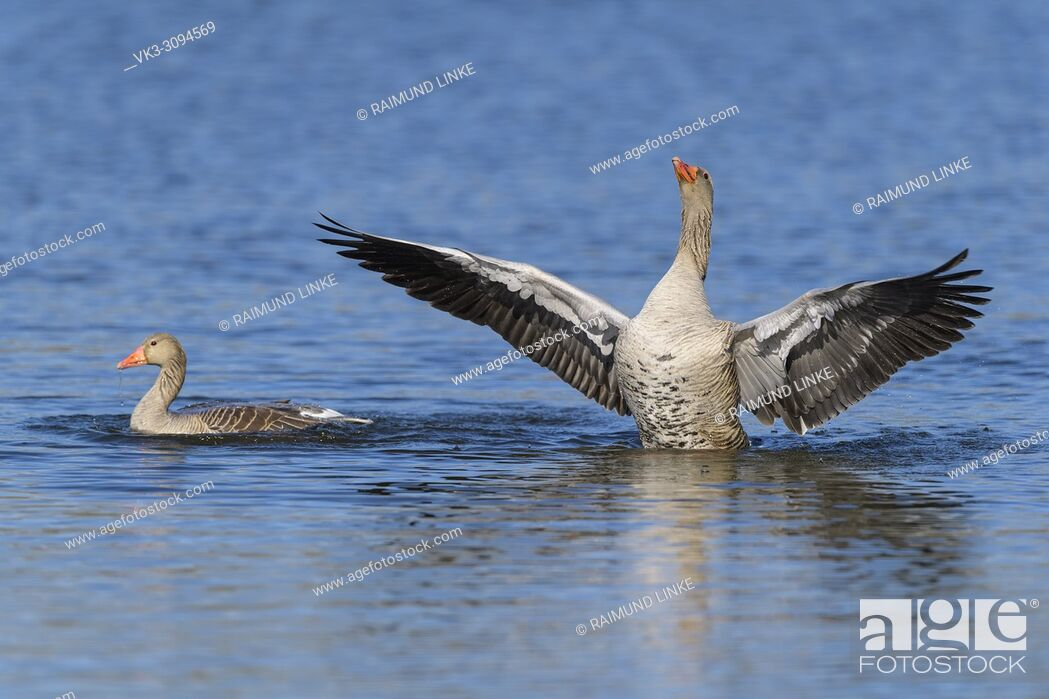 Imagen: Greylag Goose, Anser anser, in water, beats with wings.