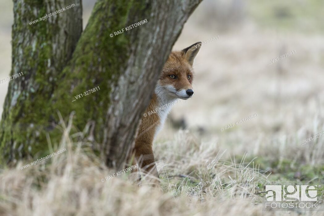 Stock Photo: Red Fox ( Vulpes vulpes ) sitting in grass, hiding behind a tree, watching carefully but attentive, funny wildlife, Europe.