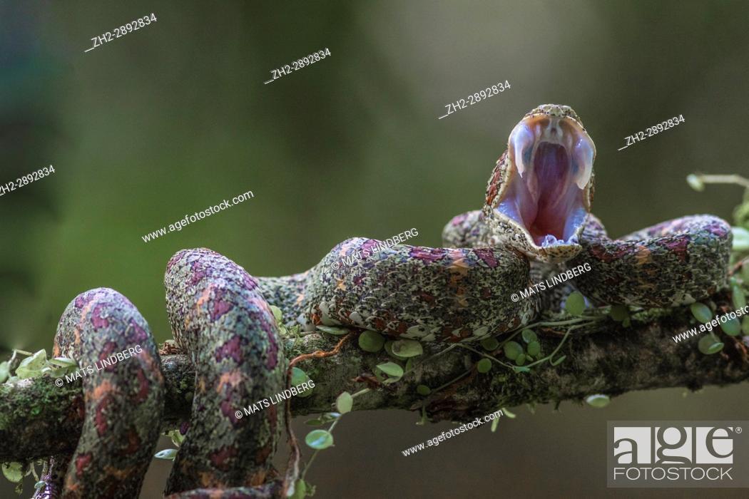 Stock Photo: Eyelash viper, Bothriechis schlegelii lying in a tree yawning at Laguna del lagarto, Boca Tapada, San Carlos, Costa Rica.