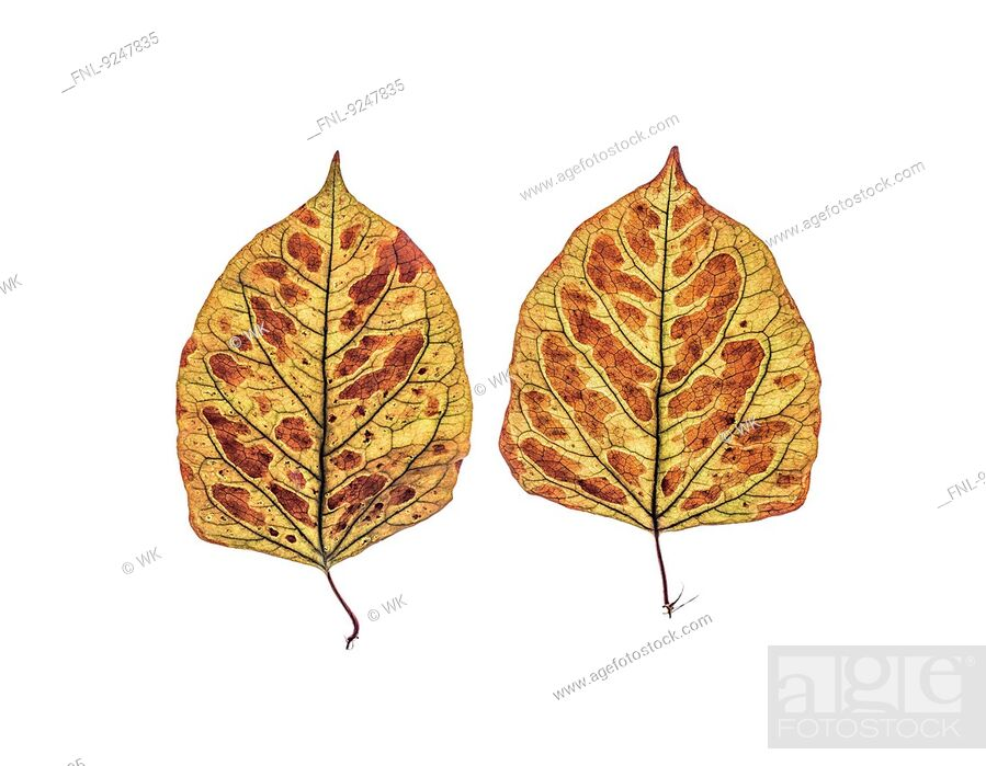 Stock Photo: Two dried leaves of Japanese knotweed.