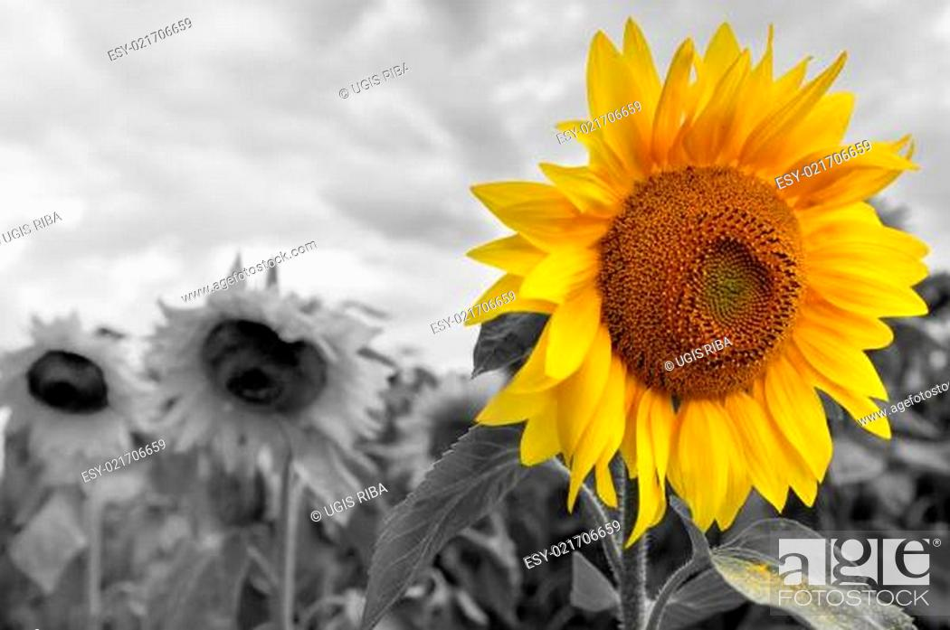 Stock Photo: Bright sunflower on a grayscale sunflowers field background.