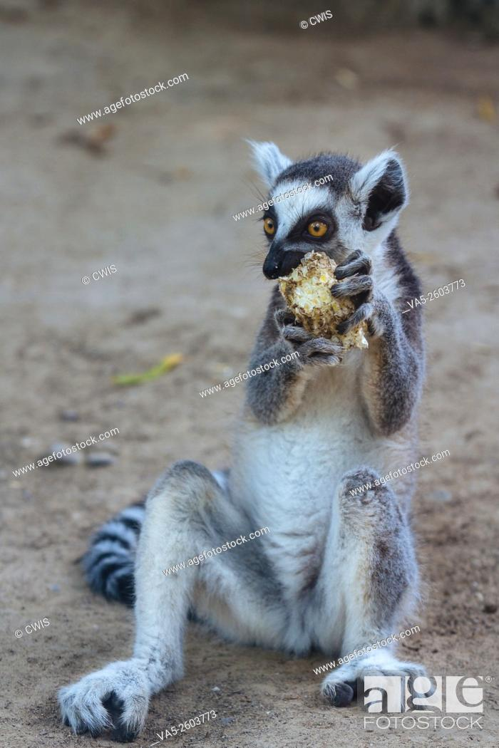 Imagen: Beijing, China - Close up of a cute Lemur in Beijing Zoo.