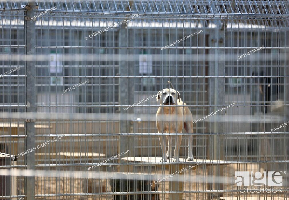 Stock Photo: A dog stands in an enclosure at the animal shelter on Suederstrasse inHamburg,Germany, 26 July 2013. Many people don't know what to do with their pets during.