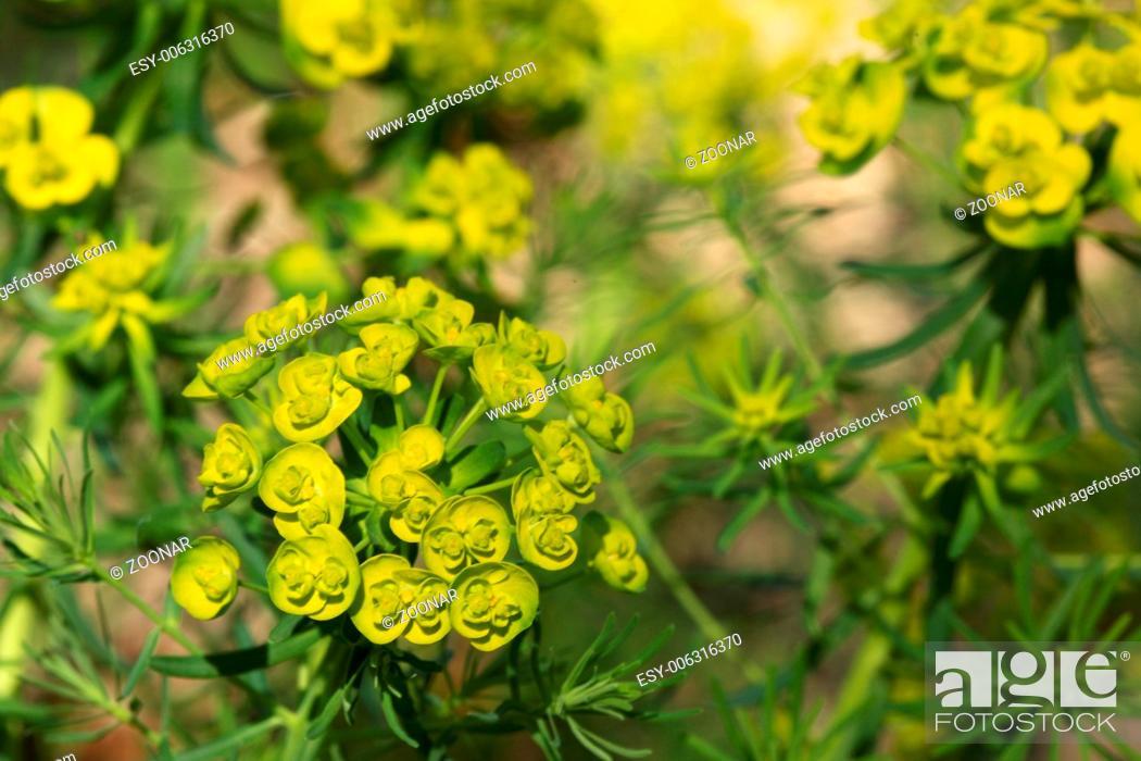 Stock Photo: Cypress spurge - Euphorbia cyparissias.