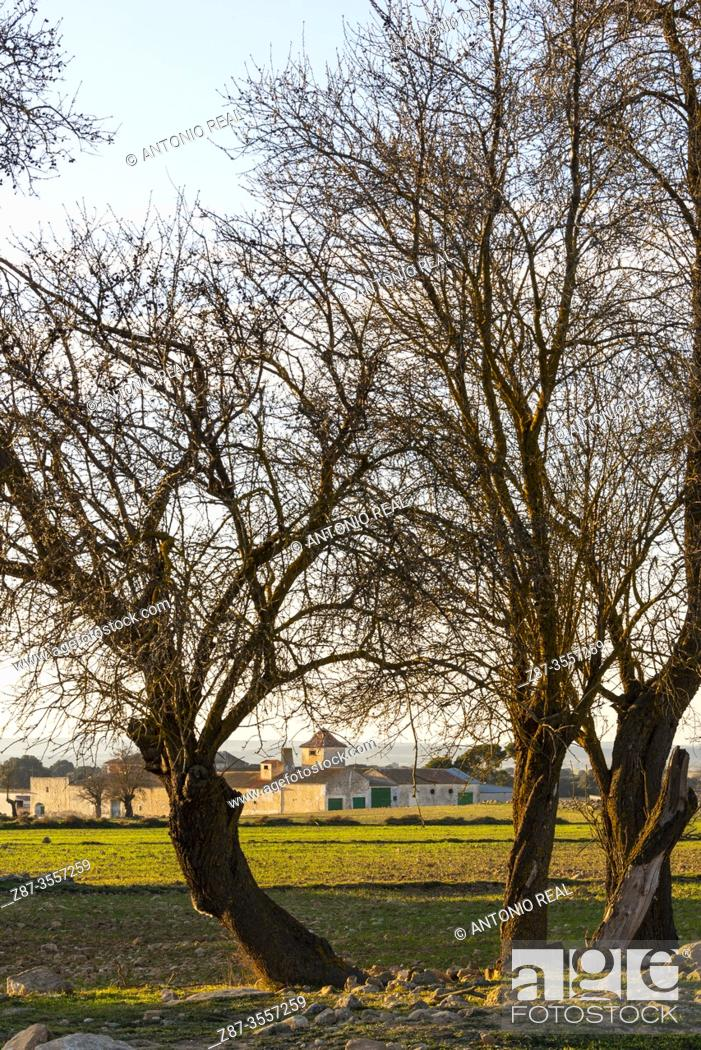 Stock Photo: Almond trees. Paraje de Botas, Almansa, Albacete province, Castile-La Mancha, Spain.