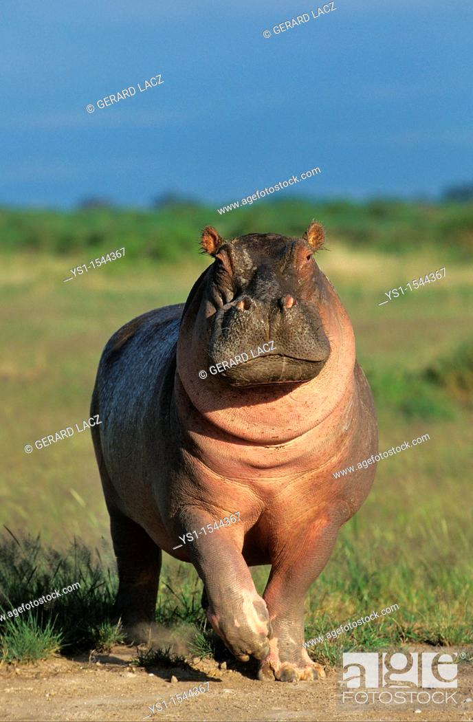 Stock Photo: Hippopotamus, hippopotamus amphibius, Adult in Masai Mara Park, Kenya.