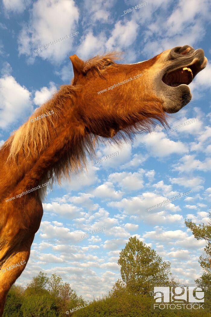 Stock Photo: Comtois horse, Bas-Rhin, France.