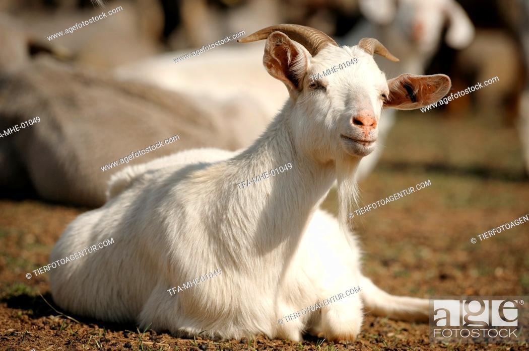 Stock Photo: goat.