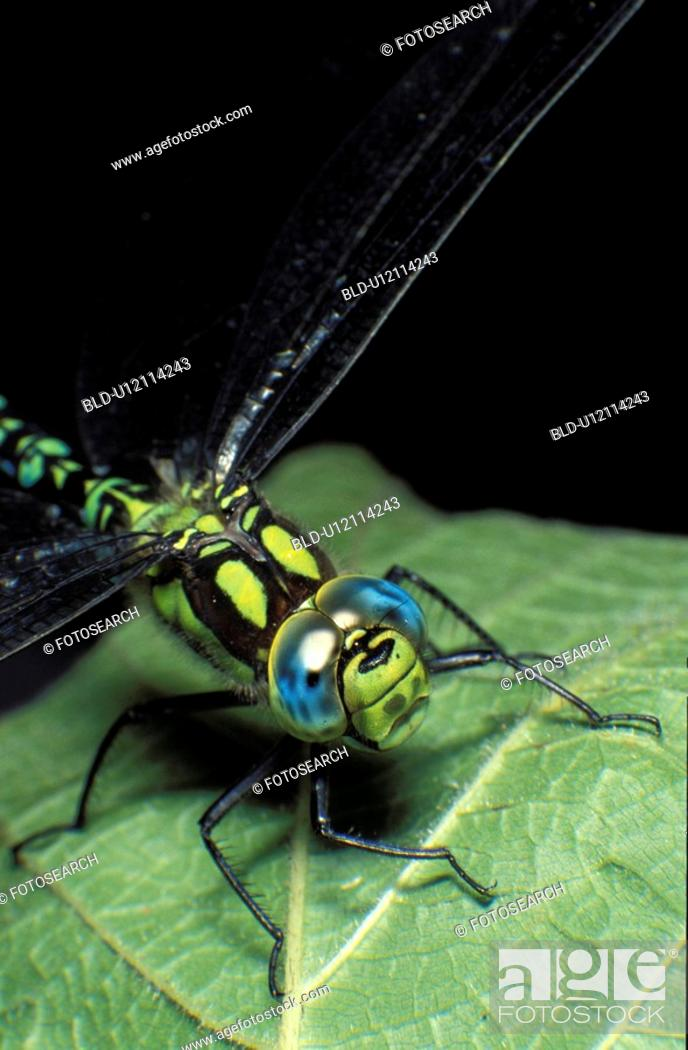 Stock Photo: insect, CLOSE, hexapoda, dragonfly, close-up, insecta, animals.