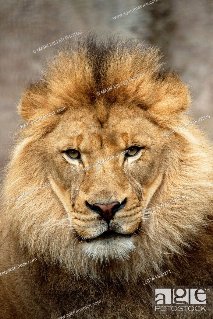 Stock Photo: African lion portrait, zoo captive.