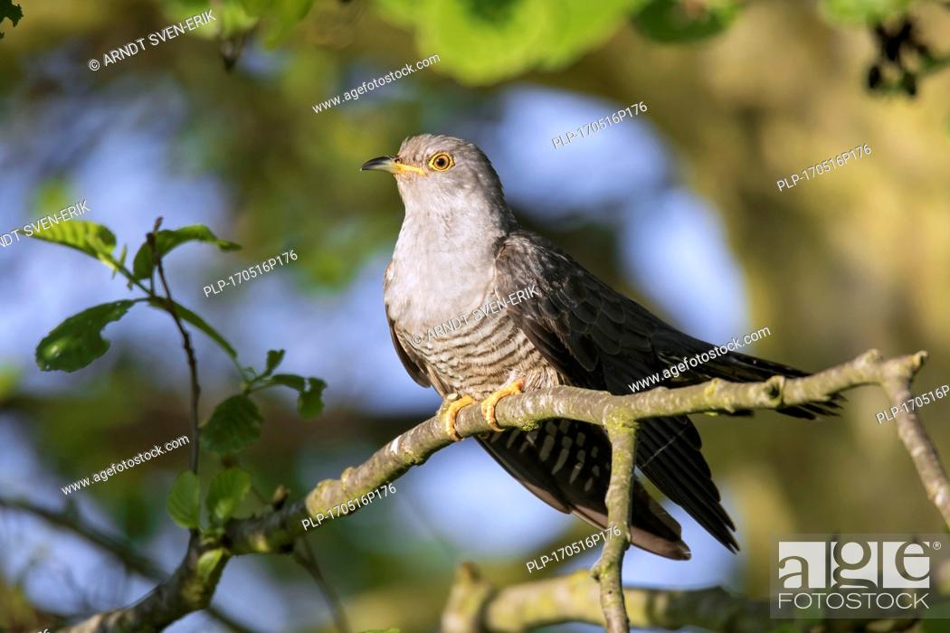 Stock Photo: Common cuckoo (Cuculus canorus) male perched in tree in spring.