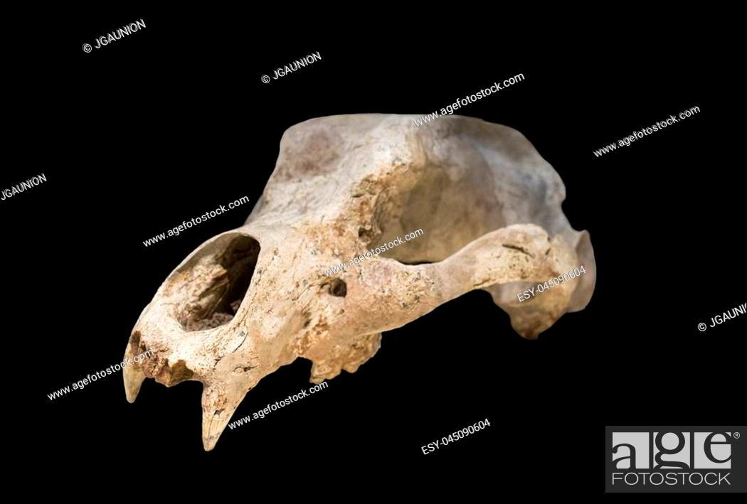 Stock Photo: Madrid, Spain - November 11, 2017: Ursus espelaeus cranium at National Archeological Museum of Madrid.