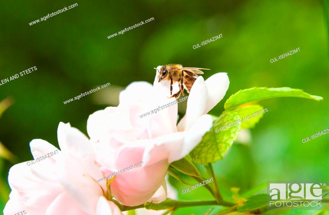 Stock Photo: Close up of bee landing on pink rose.