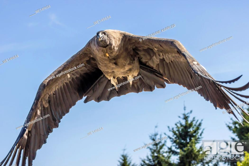 Stock Photo: Andean condor in Wildpark Potzberg.