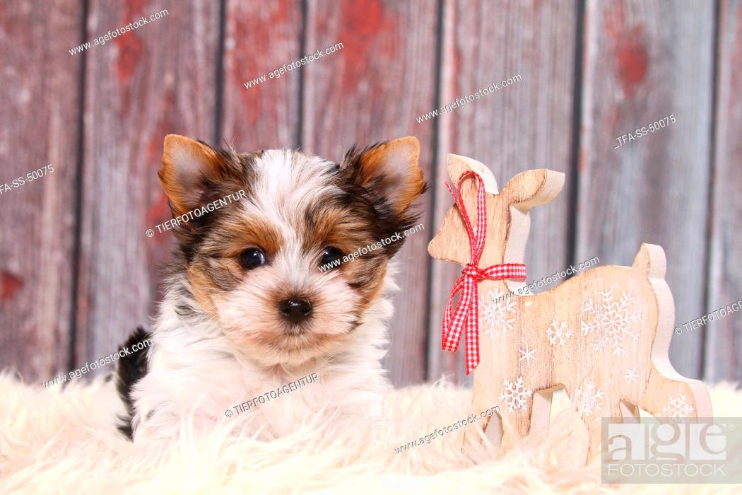 Stock Photo: Biewer Terrier Puppy.