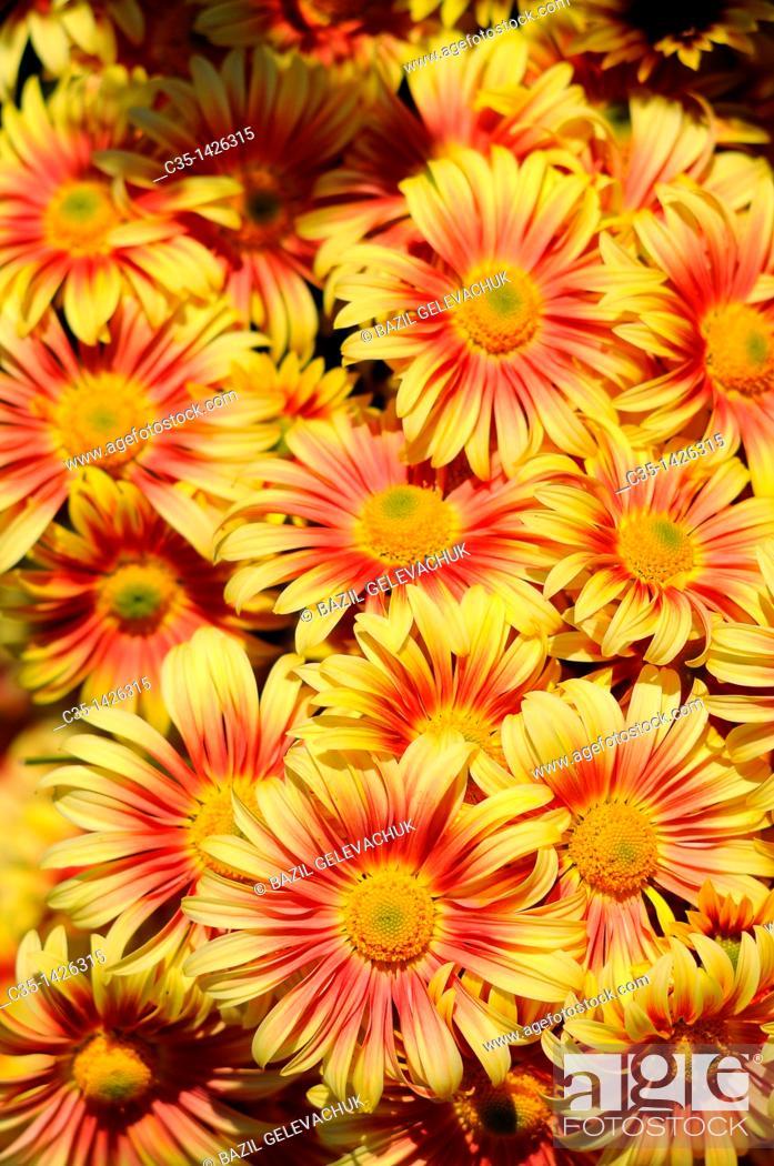 Stock Photo: Chrysanthemum garden roma.