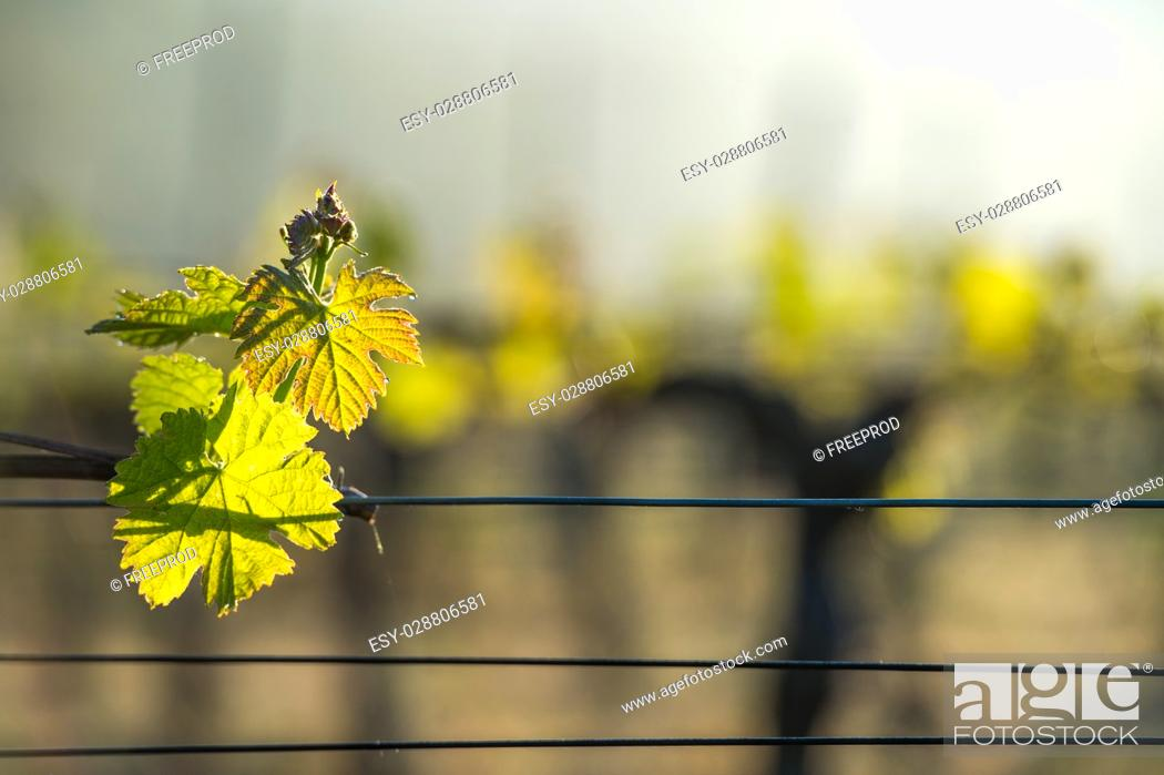 Stock Photo: First spring leaves on a trellised vine growing in vineyard, Bordeaux, France.