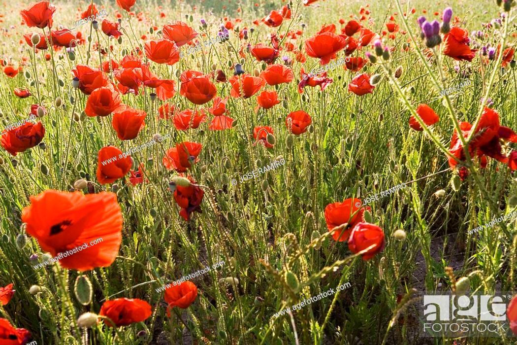 Poppies pinto madrid spain foto de stock imagen - Fotos de pinto madrid ...