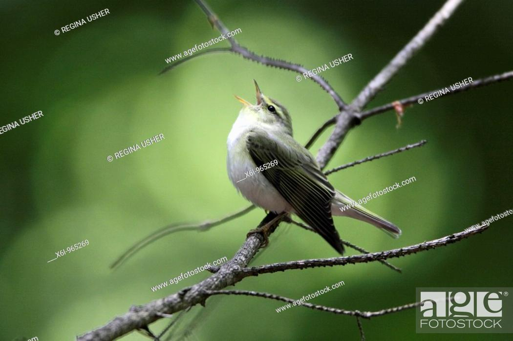 Stock Photo: Wood Warbler Phylloscopus sibilatrix, singing from branch.