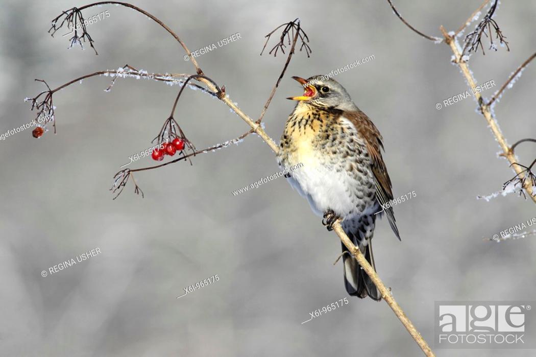 Stock Photo: Fieldfare Turdus pilaris, feeding on Guelder Rose berries in winter, Germany.