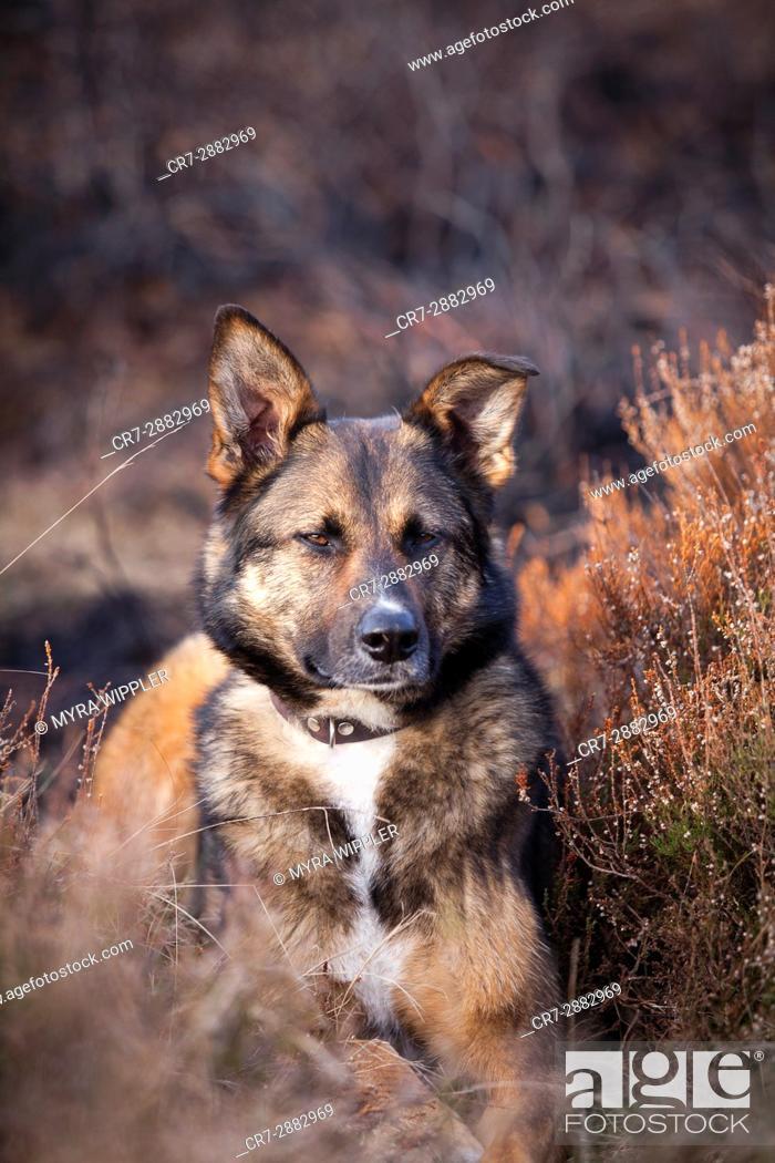 Stock Photo: Shepherd mix dog in nature.