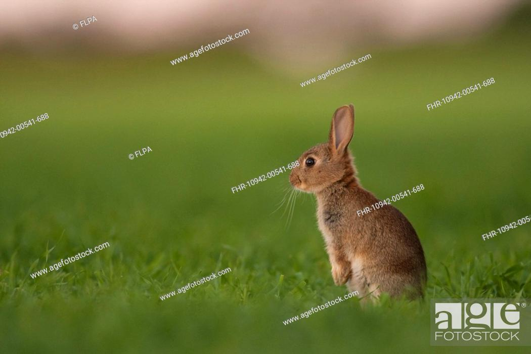 European Rabbit Oryctolagus Cuniculus Young Alert Standing On Hind