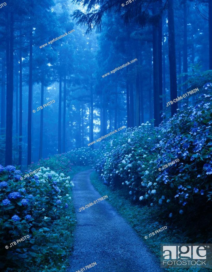 Stock Photo: Michinoku hydrangea garden, hydrangea, Ichinoseki, Iwate, Tohoku, Japan, July.