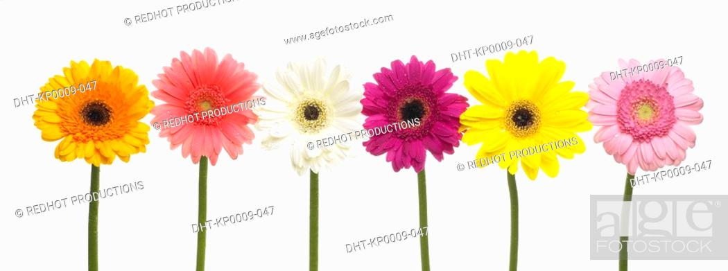 Stock Photo: Six assorted Gerbera flowers in a row.