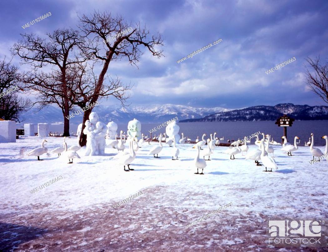 Stock Photo: mountain, snow scene, bird, migratory bird, swan, winter, winter scene.